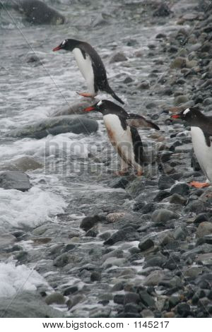 Gentoo Penguins, Diving