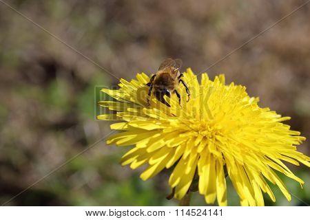 Dandelion and Honeybee