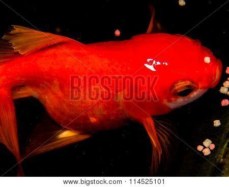 Goldfish Isolated On Black