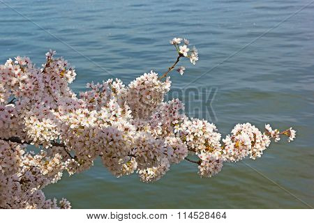 Cherry tree branch with waters of Tidal Basin at background.