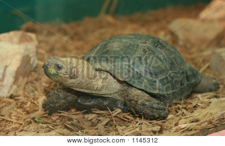 Burmese Mountain Tortoise Full Body