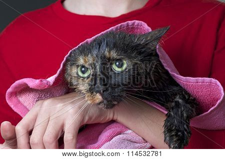 Torbie Tourteshell tabby cat being towel dried after a flea bath