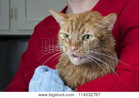 Orange Tabby Cat being towel dried after a flea bath