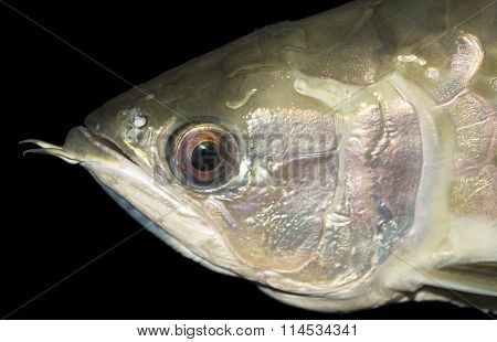 Head of marine fish