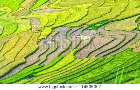 Beauty of terraced fields harvest season