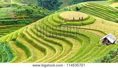 Farmers go check cornfield harvest