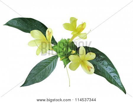 Yellow shrimp tropical wild flower isolated on white background