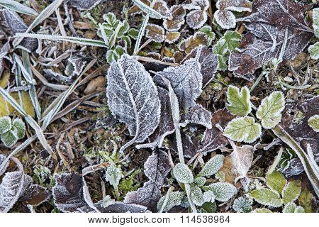 December frozen leaves on the field ground