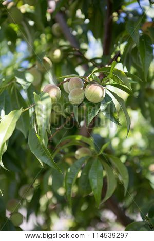 Small unripe green peach on the tree in an orchard