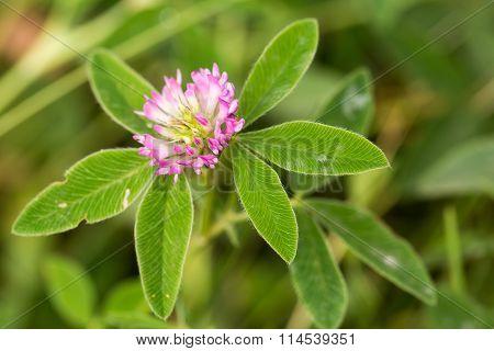 Red flower clover,Trifolium pratense
