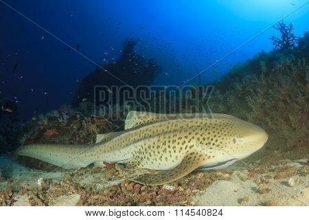 Leopard Shark (sometimes known as Zebra Shark)