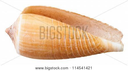 Empty Mollusk Shell Of Sea Cone Snail Isolated