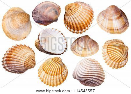 Set Of Clam Mollusc Shells Isolated On White