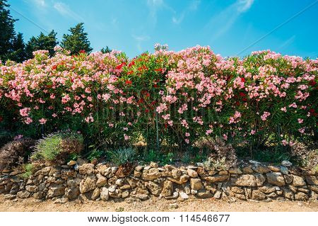 Hedge of flowering shrubs. Pink flowers. Garden design