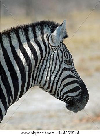 Close up of a lone zebra head