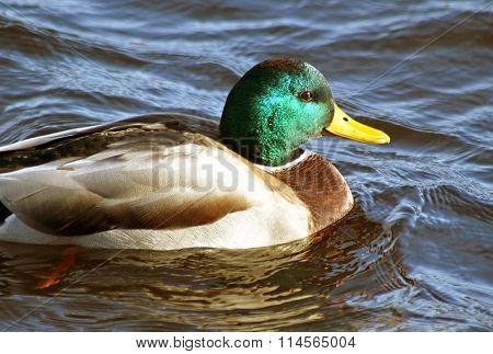 Mallard duck drake swimming alone on calm waters