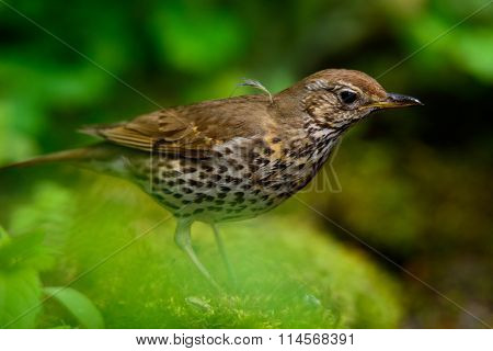 Song Thrush walking on a green background.