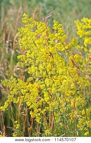 Galium Verum Or Yellow Bedstraw (latin Galium Verum)