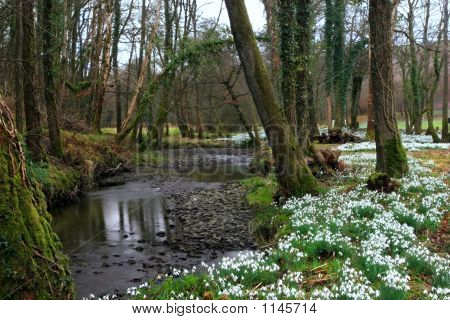 Ancient Snowdrop Forest