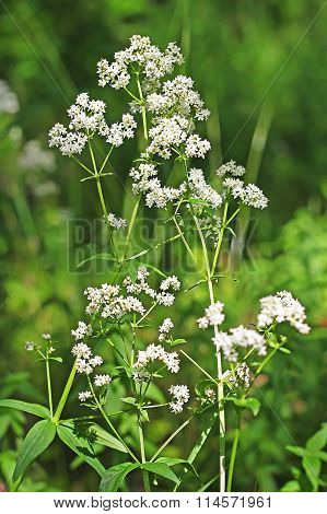 Wild-growing Medicinal Plants Galium Boreale L.