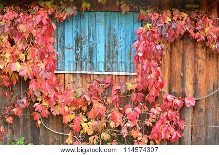 Colors Of Autumn Leaves On The Wall Of The House, Southern Bohemia