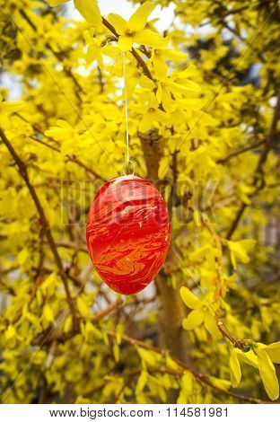 Red Easter egg in yellow blooming forsythia