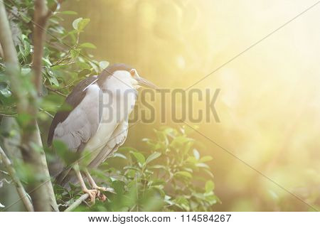 Black-crowned Night Heron With Flare Light