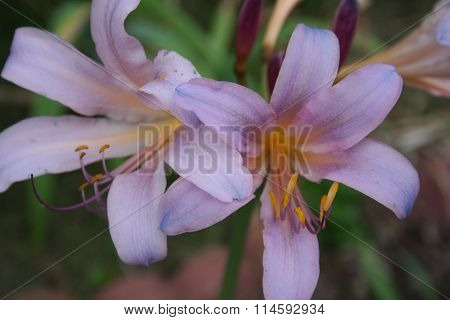 Pink Resurrection Lily