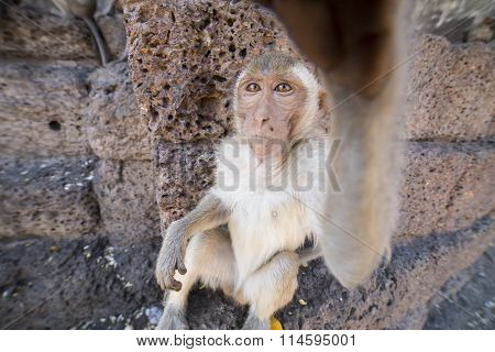 Young Crab Eating Macaque
