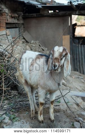 Goat In The Village Eating Food In Mouth