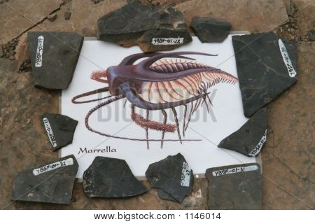 Pictures Of Marella Fossil
