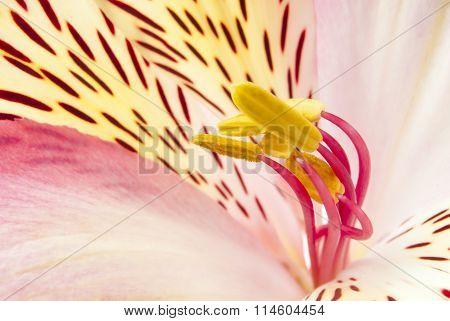 Pink exotic flower. Focus on the pestle flower