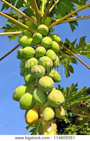 Papaya fruits Latin name Carica papaya