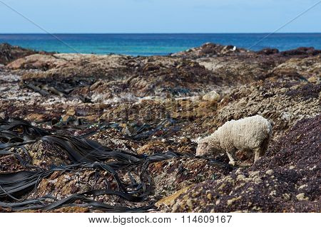 Sheep Feeding on Giant Kelp