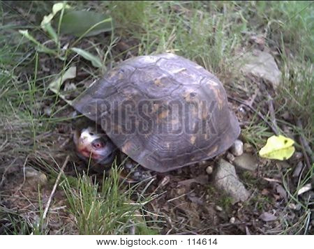Old Box Turtle