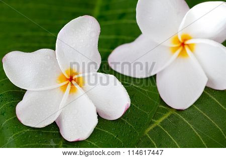 Two White Frangipani Flowers On Green Leaf, Close Up