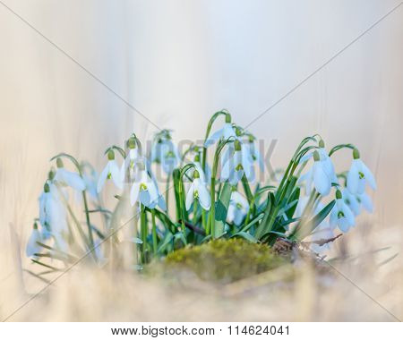 Spring snowdrop (Galanthus nivalis) flowers blooming in forest