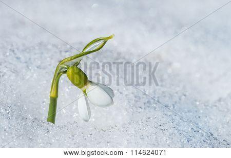 Spring single snowdrop flower with snow in the garden