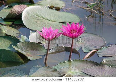 Pink Lotus Is Blooming In Lake.