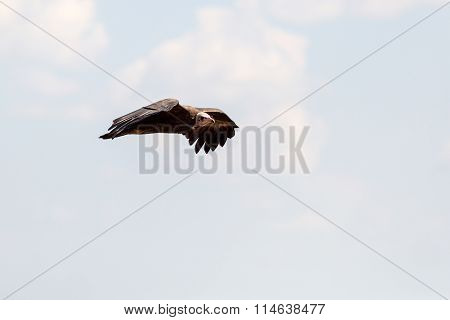 Vulture flying against a blue sky in Zimbabwe