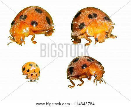 Close Up Orange Ladybug On White Background