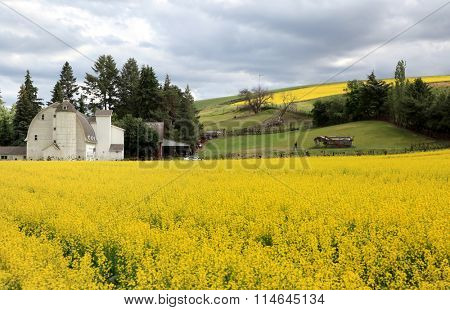 Rapeseed fields and barn in Washington state