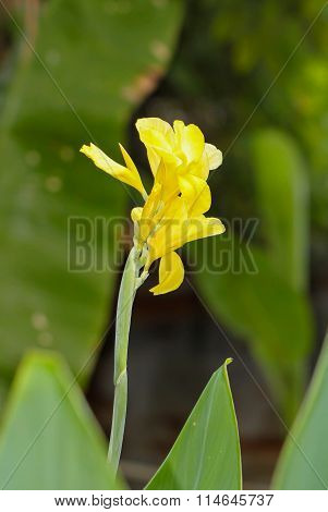 Yellow Canna Flowers In Thailand