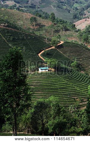 Asia Thailand Chiang Rai Mae Salong Tea Plantation