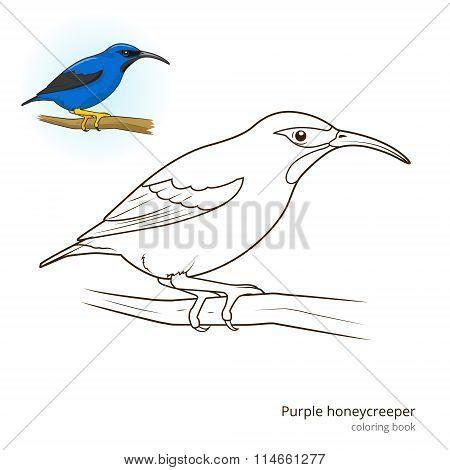 Purple honeycreeper color book vector