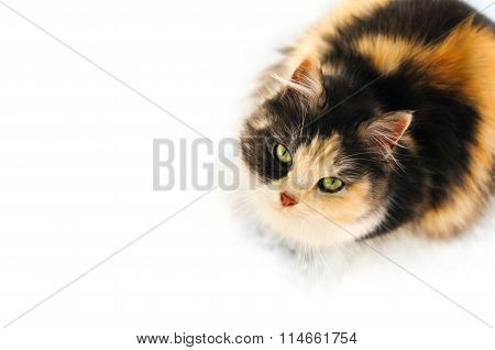 Three color furry winter cat looking up isolated on white background