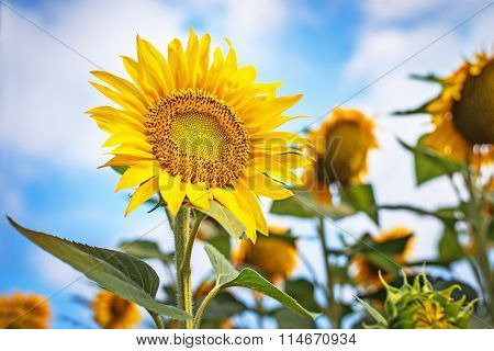 Beautiful Sunflowers Against Blue Sky.