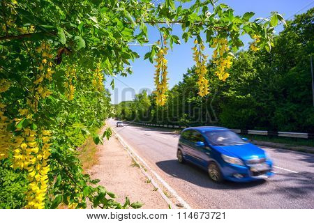Bobovnik Of Yellow Flowers Hanging Down Over The Road