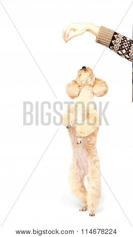 Apricot Poodle Standing On Hind Legs And Looking Up