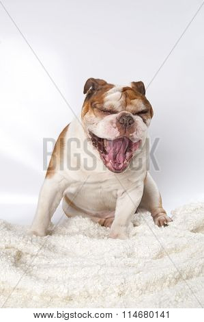 Portrait Of A Yawning Dog Breed English Bulldog..